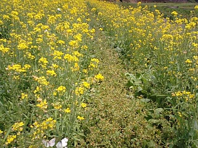 6月に菜の花が満開…2013・6・8_f0231709_14122436.jpg