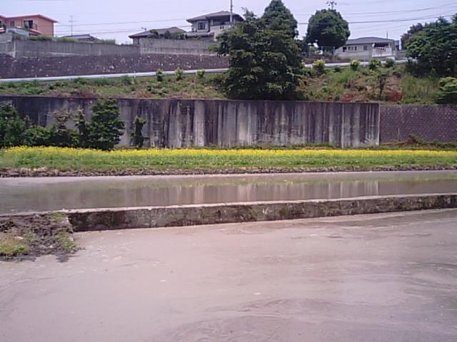 6月に菜の花が満開…2013・6・8_f0231709_14223995.jpg