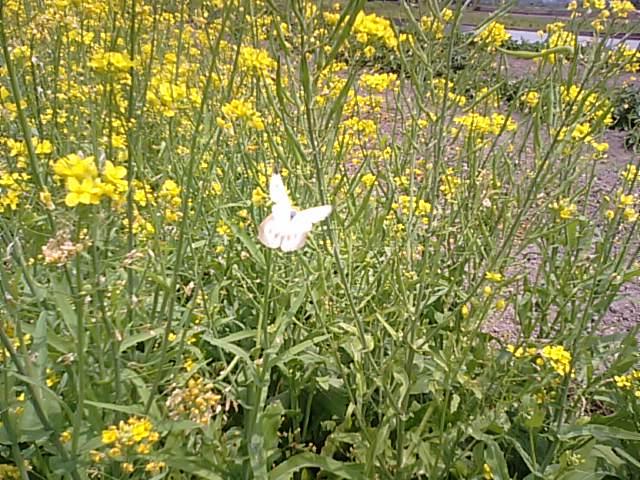 6月に菜の花が満開…2013・6・8_f0231709_14233826.jpg