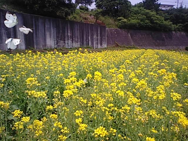 6月に菜の花が満開…2013・6・8_f0231709_1423837.jpg