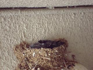 ツバメの雛と白い鳩_d0155416_15252857.jpg