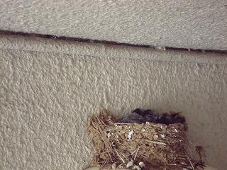 ツバメの雛と白い鳩_d0155416_15254760.jpg