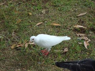 ツバメの雛と白い鳩_d0155416_15291838.jpg