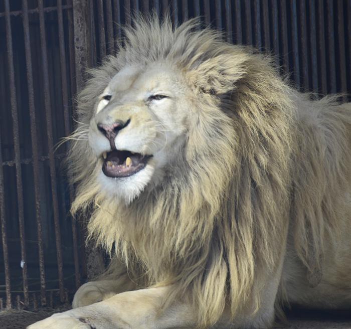 2012.12.2 東北サファリ☆ホワイトライオンのヘイジ 【White lion】_f0250322_2253020.jpg