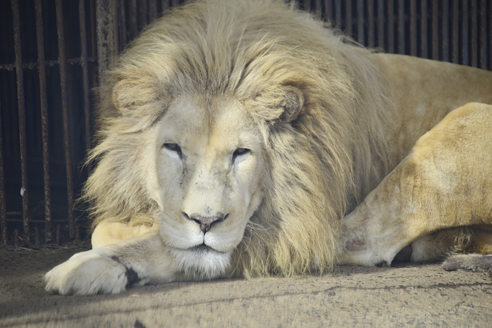 2012.12.2 東北サファリ☆ホワイトライオンのヘイジ 【White lion】_f0250322_2253086.jpg