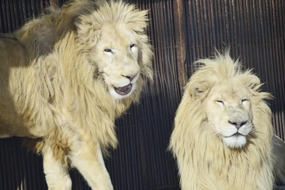 2012.12.27 東北サファリ☆ホワイトライオンのヘイジとセロ 【White lion】_f0250322_22555736.jpg