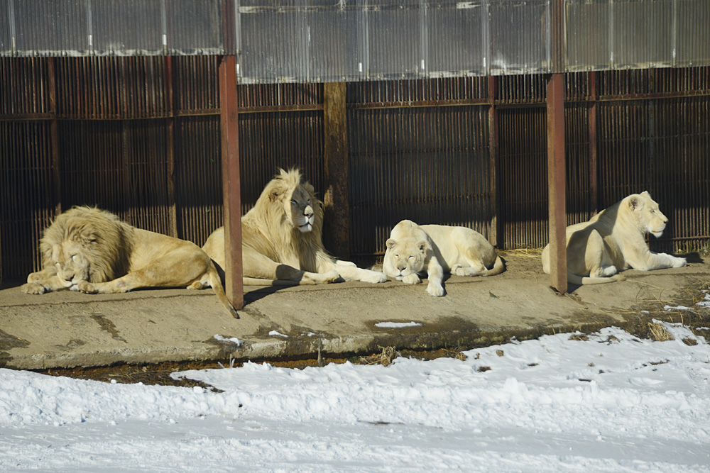 2012.12.27 東北サファリ☆ホワイトライオンのヘイジとセロとメルとレム 【White lion】_f0250322_236841.jpg