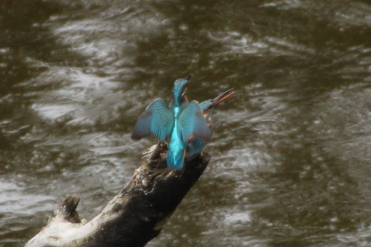 2013.6.8 早戸川林道・今日の主役は『幸せの青い鳥』オオルリ、カワセミ、アオゲラ、アオサギ_c0269342_18121151.jpg