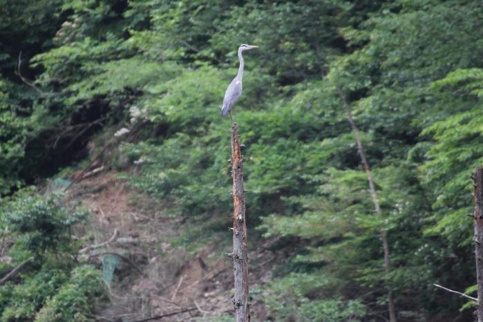 2013.6.8 早戸川林道・今日の主役は『幸せの青い鳥』オオルリ、カワセミ、アオゲラ、アオサギ_c0269342_18144975.jpg