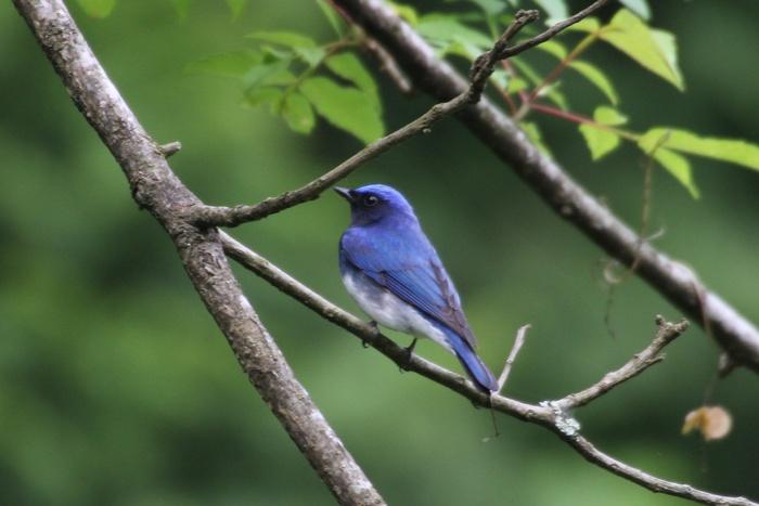 2013.6.8 早戸川林道・今日の主役は『幸せの青い鳥』オオルリ、カワセミ、アオゲラ、アオサギ_c0269342_185655.jpg