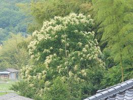 空気ににおいをつける花、咲いた_e0175370_21431362.jpg