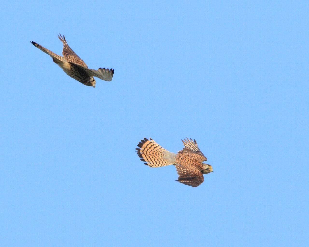 相模大橋のチョウゲンボウ幼鳥2羽で飛行訓練_f0105570_22231277.jpg