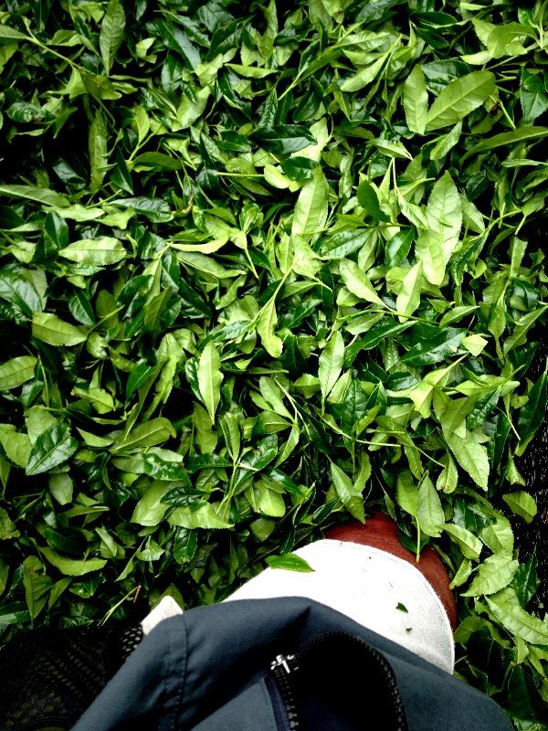 茶刈り&茶畑決定!!_b0220318_22543794.jpg