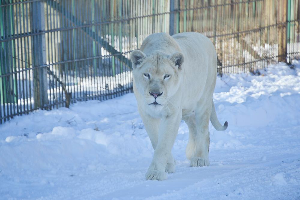 2012.12.27 東北サファリ☆ホワイトライオンのメルちゃん 【White lion】_f0250322_16392243.jpg