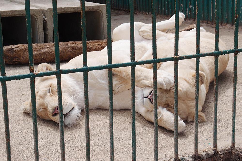 2013.4.23 東北サファリ☆ホワイトライオンのミルとライム 【White lion】_f0250322_2028354.jpg