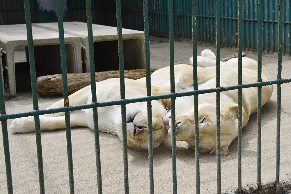 2013.4.23 東北サファリ☆ホワイトライオンのミルとライム 【White lion】_f0250322_20284140.jpg