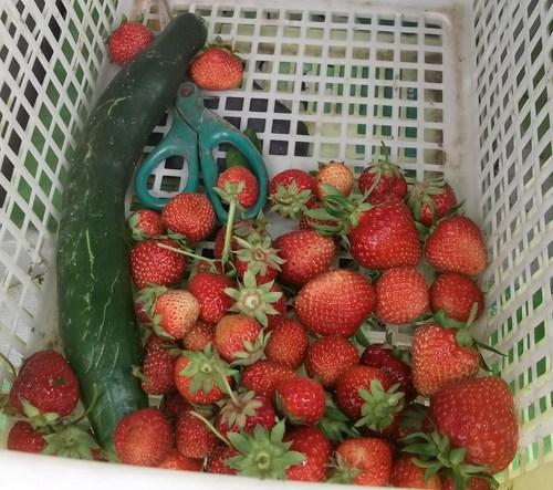 野菜は元気です....雨でさらに元気に..._b0137932_5385722.jpg