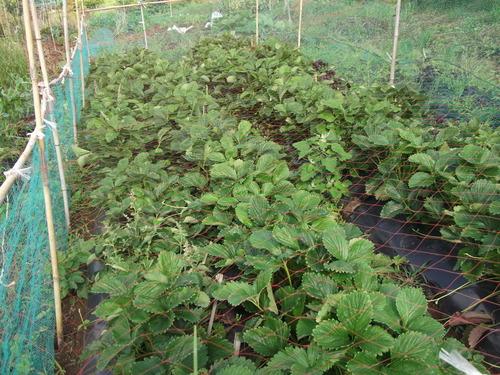 野菜は元気です....雨でさらに元気に..._b0137932_8264845.jpg
