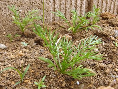 カモミールの草丈が伸び始めました_f0108133_912688.jpg