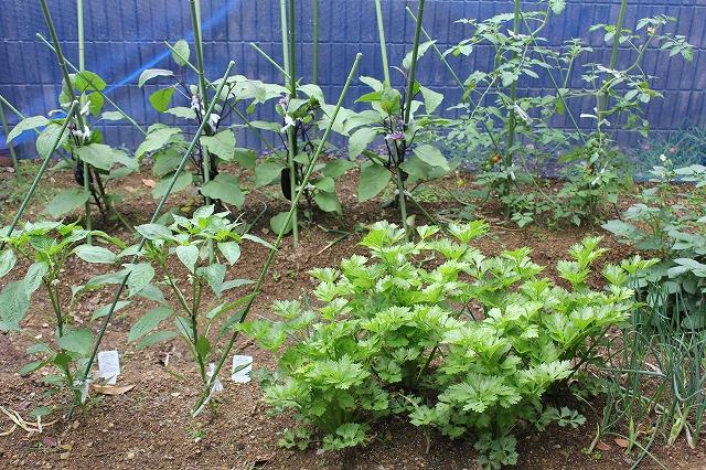 我家の家庭菜園(2013年6月9日)_a0139239_2134212.jpg