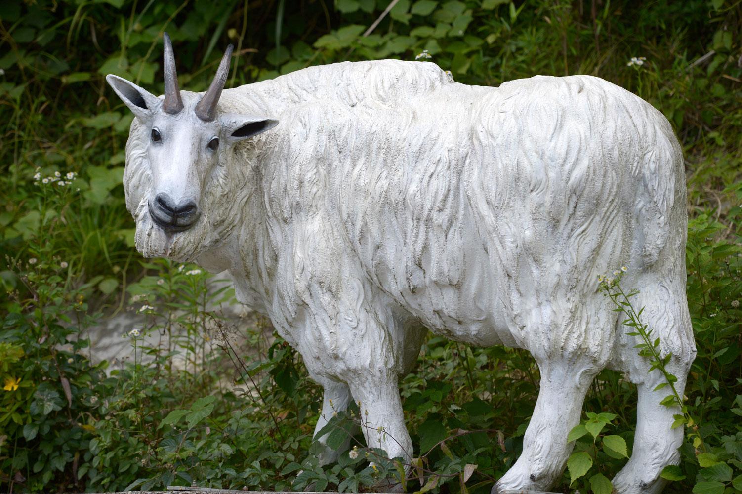 シロイワヤギの画像 p1_4