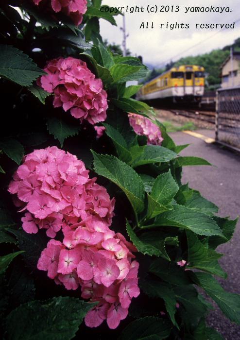 紫陽花の季節_d0309612_214543.jpg