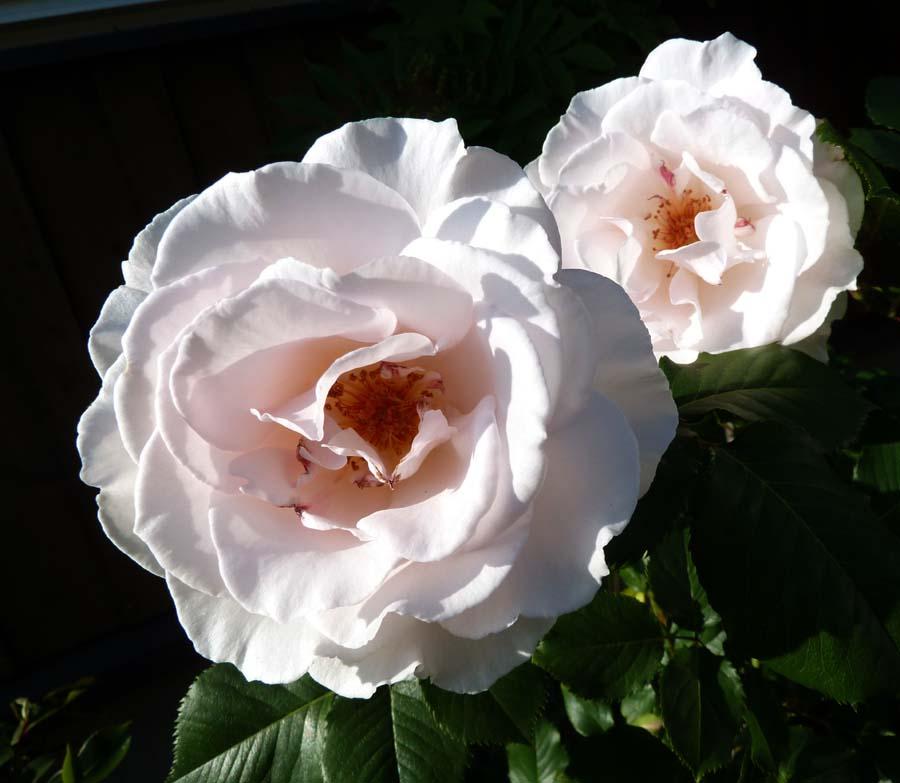 事務所の「薔薇」_f0150893_18545358.jpg