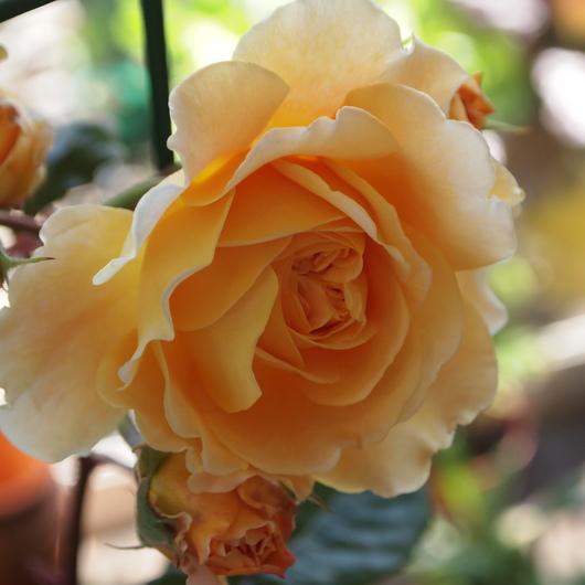 イングリッシュローズが咲いてまいりました。_a0292194_21123293.jpg
