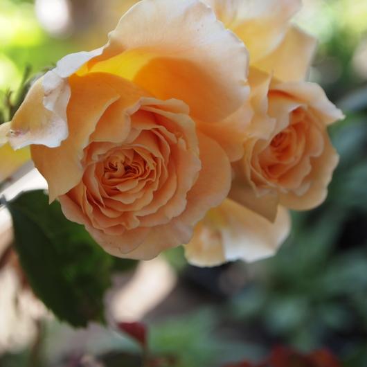 イングリッシュローズが咲いてまいりました。_a0292194_2112524.jpg