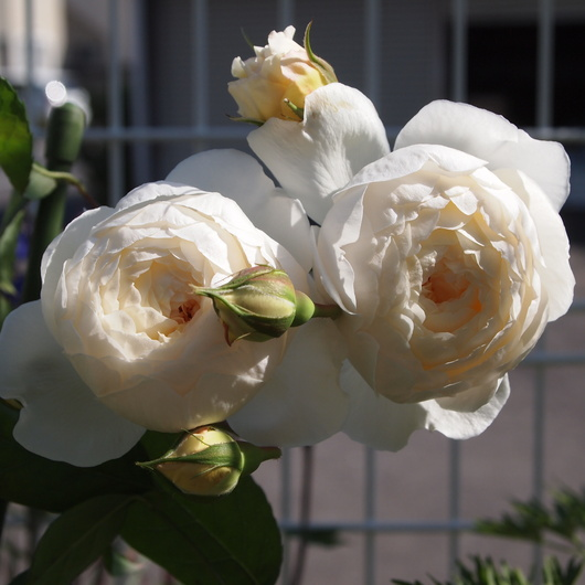 イングリッシュローズが咲いてまいりました。_a0292194_21253019.jpg