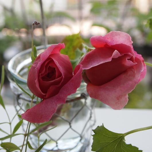 イングリッシュローズが咲いてまいりました。_a0292194_2131350.jpg