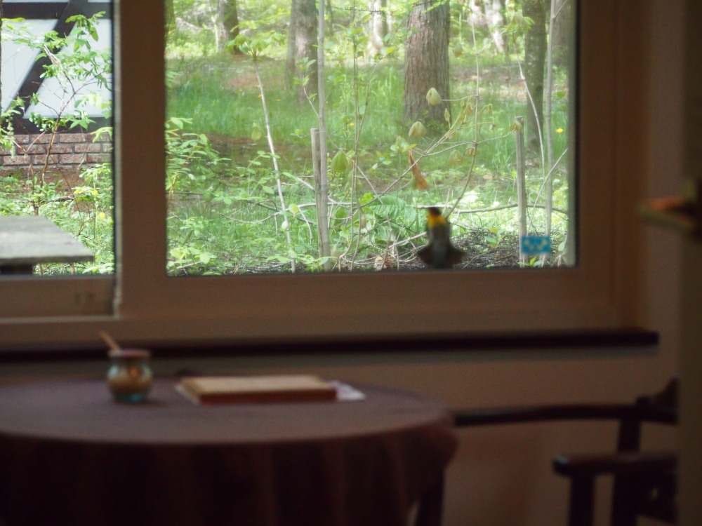 """近頃、毎日カフェをのぞく""""キビタキさん""""誰かさがしてるの?_f0276498_23164455.jpg"""