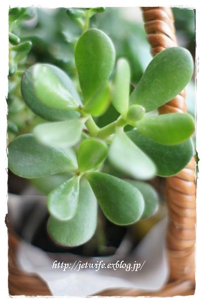 雨季の多肉植物たち_a0254243_23124153.jpg
