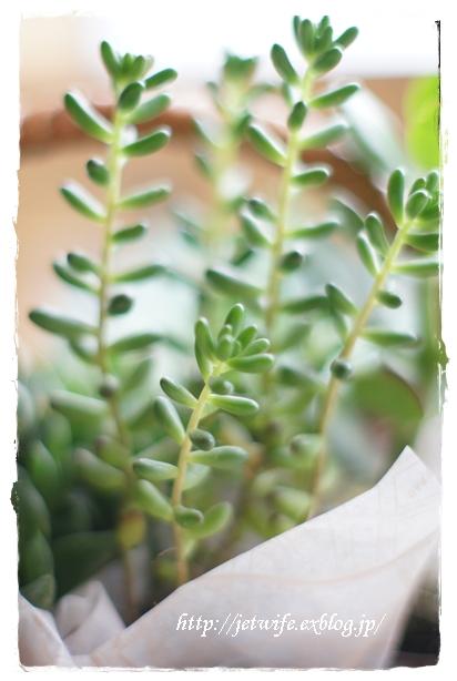 雨季の多肉植物たち_a0254243_2315377.jpg