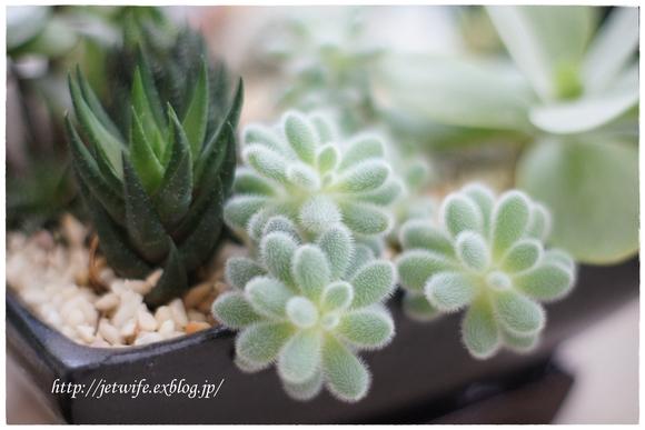 雨季の多肉植物たち_a0254243_2371785.jpg