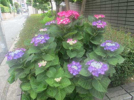 散歩を楽しく/紫陽花の花_d0183174_19452871.jpg