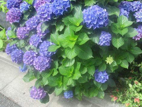 散歩を楽しく/紫陽花の花_d0183174_1945862.jpg