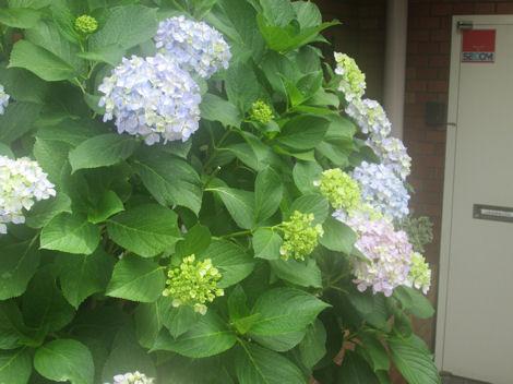 散歩を楽しく/紫陽花の花_d0183174_1946832.jpg