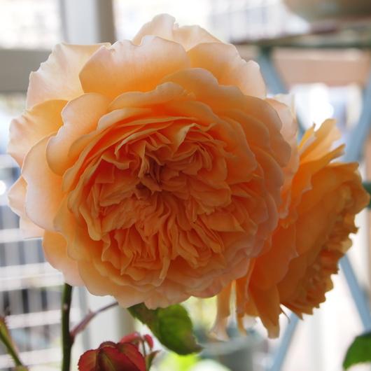 イングリッシュローズが咲いてまいりました。_a0292194_20105061.jpg