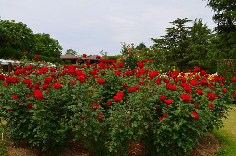 京都植物園のバラ園2013_e0237645_14403081.jpg