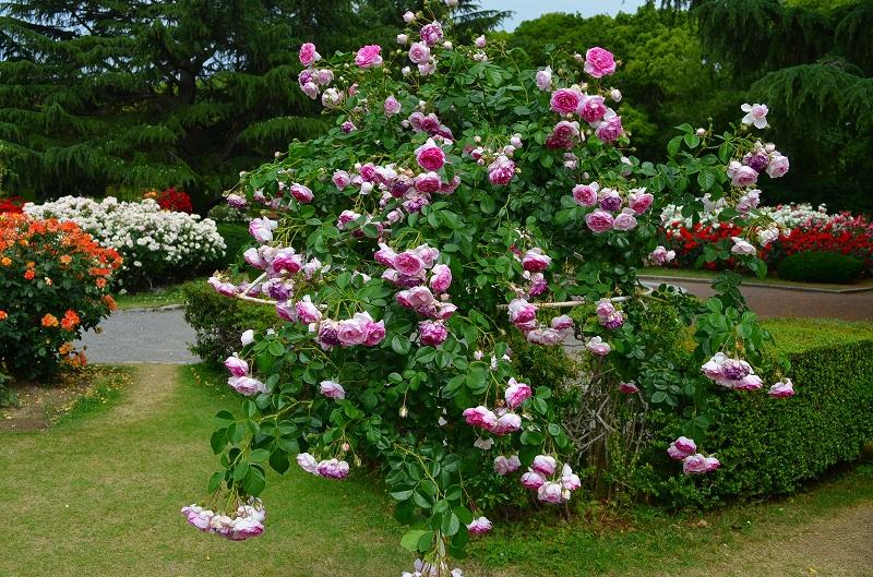 京都植物園のバラ園2013_e0237645_14412155.jpg