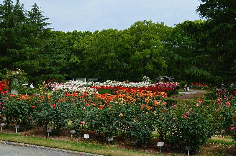 京都植物園のバラ園2013_e0237645_14415511.jpg