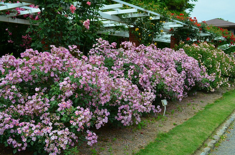 京都植物園のバラ園2013_e0237645_14421148.jpg