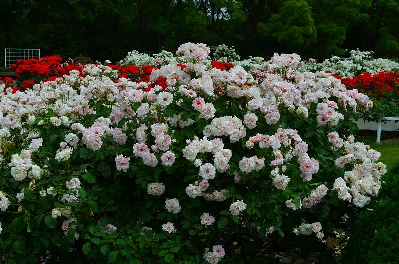 京都植物園のバラ園2013_e0237645_14422821.jpg