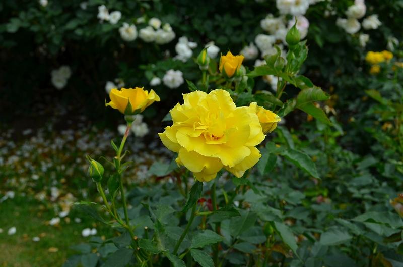 京都植物園のバラ園2013_e0237645_14424276.jpg