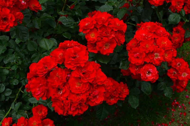 京都植物園のバラ園2013_e0237645_14432410.jpg