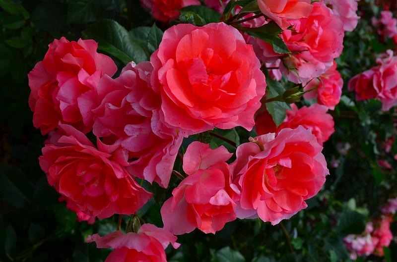 京都植物園のバラ園2013_e0237645_14443192.jpg