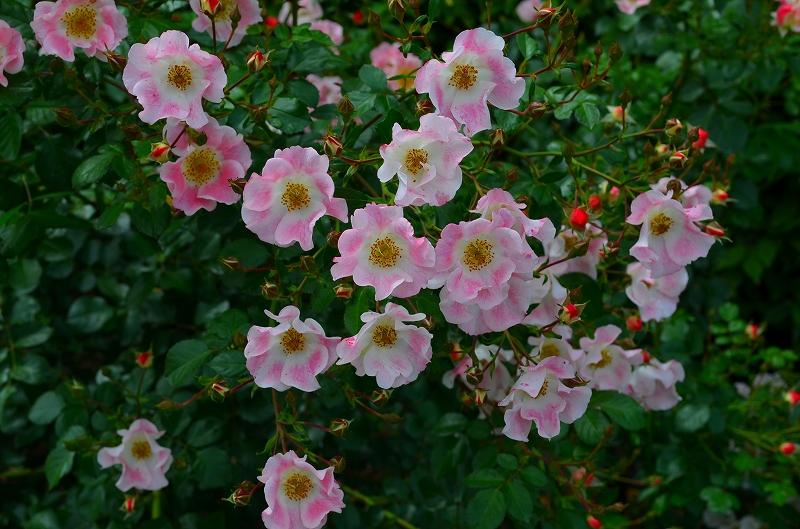 京都植物園のバラ園2013_e0237645_14444749.jpg