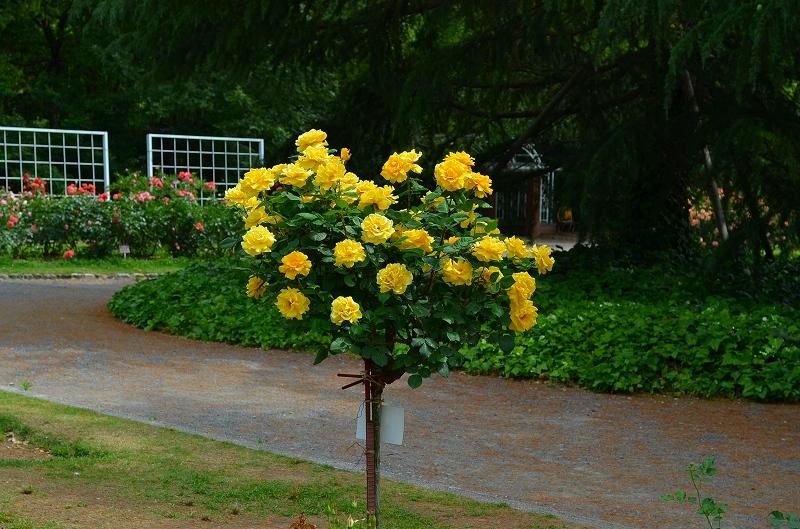 京都植物園のバラ園2013_e0237645_1445528.jpg