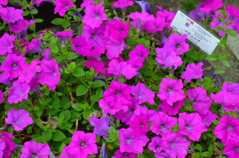 京都植物園花壇の花2013_e0237645_1534643.jpg